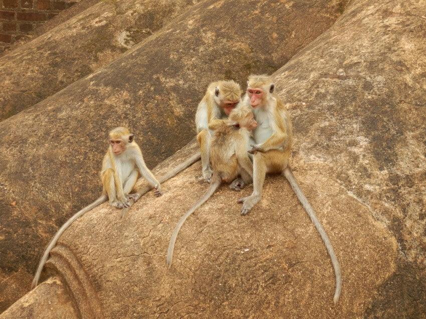Monkeys at a Lions feet