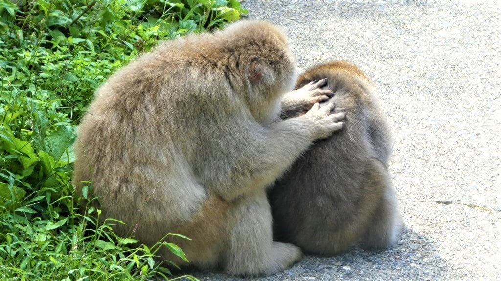 Two Japanese macaques in Japan