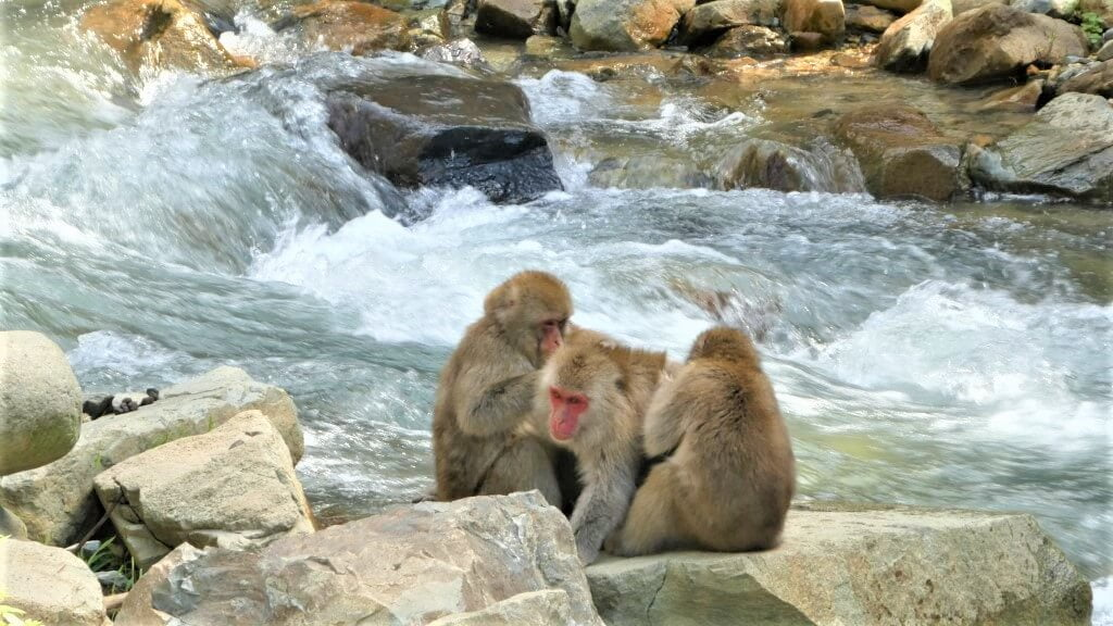 Japanese macaques in Jigokudanis Snow Monkey Park