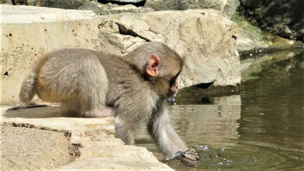 A small Japanese macaque and an onsen