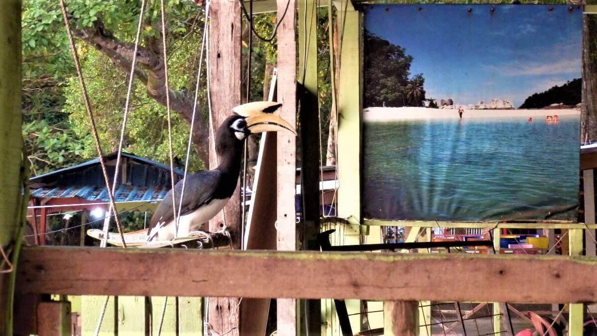 The hornbill in Malaysia