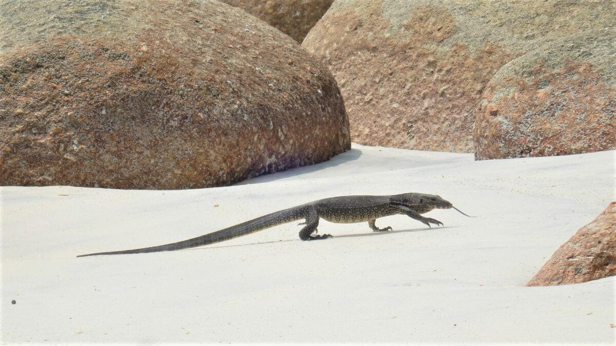The monitor lizard on Pulau Pangkor