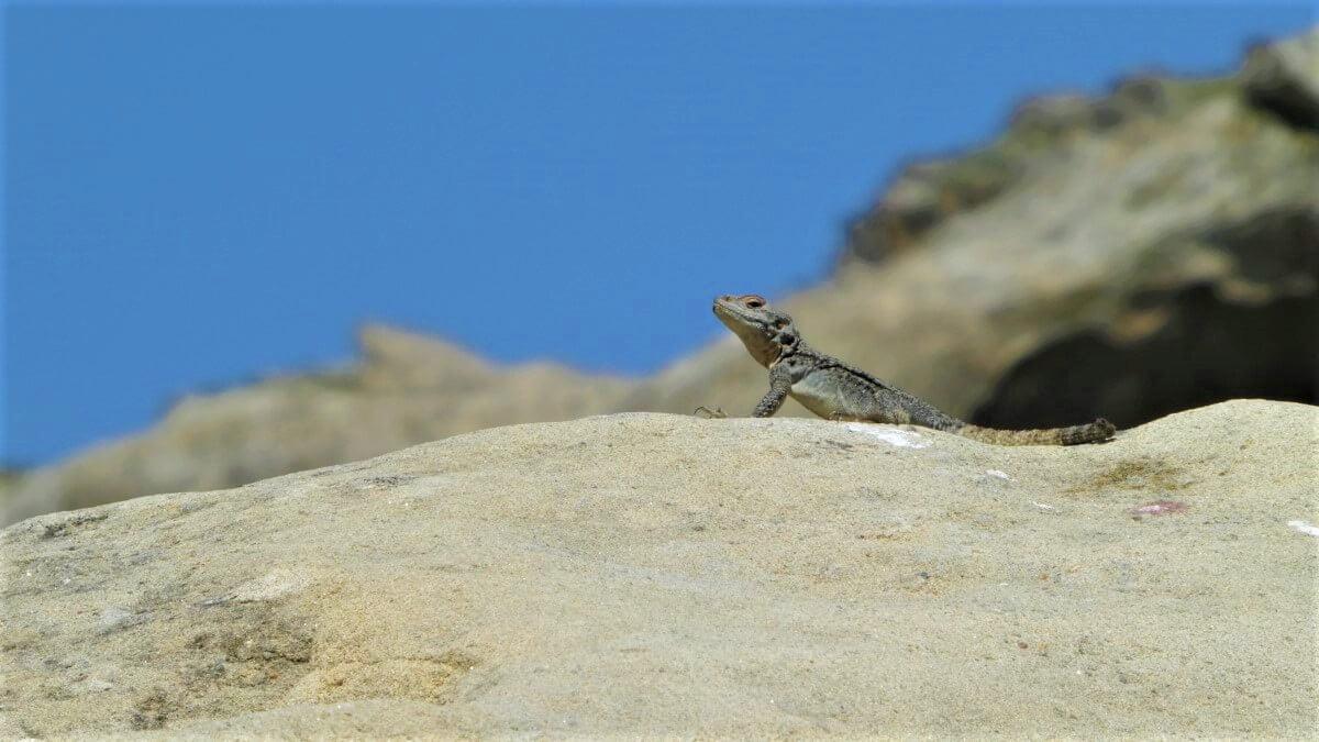 A Georgian lizard, or the Caucasian Djodjo