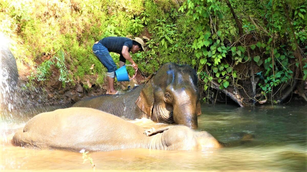 The mahout washes the elephants, Mondulkiri