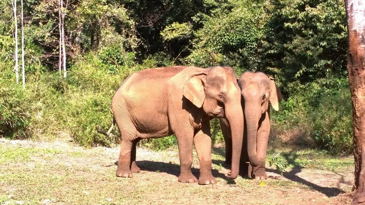 The elephants of Cambodia