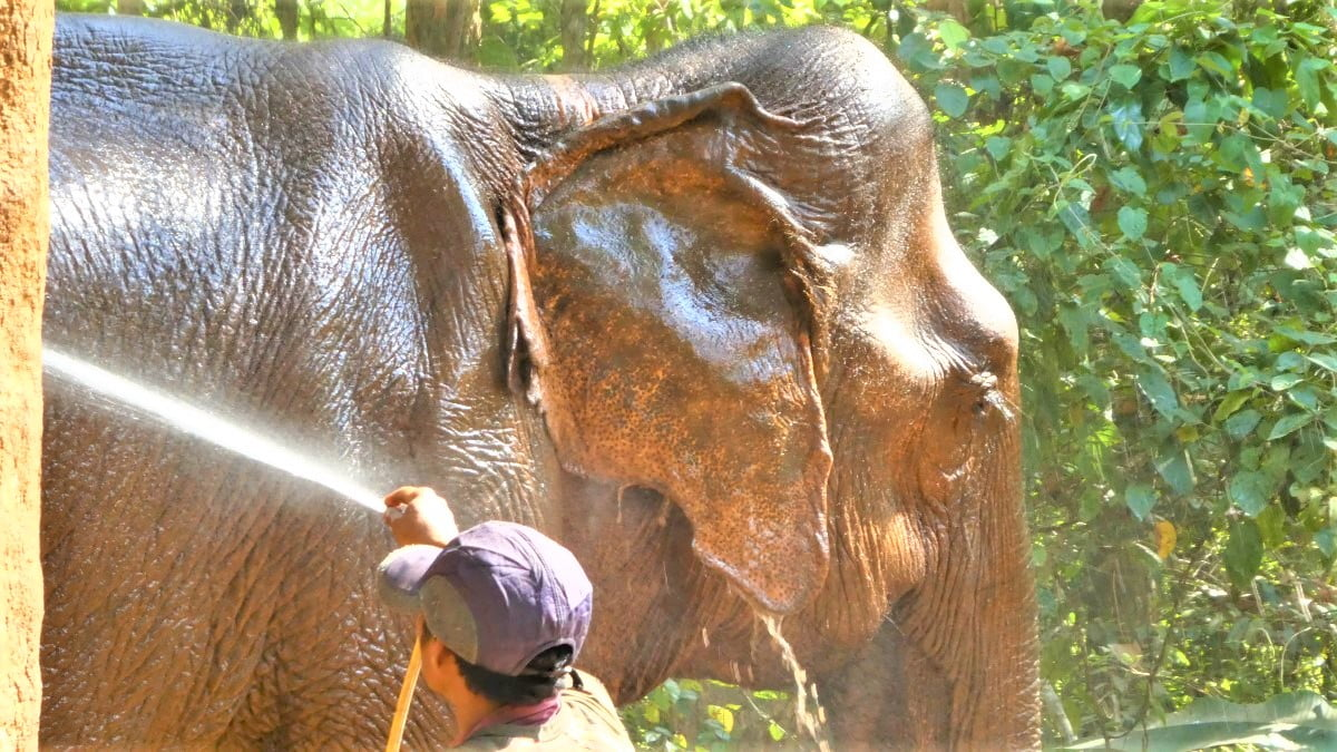 Elephant at the Elephant Valley Project, Cambodia