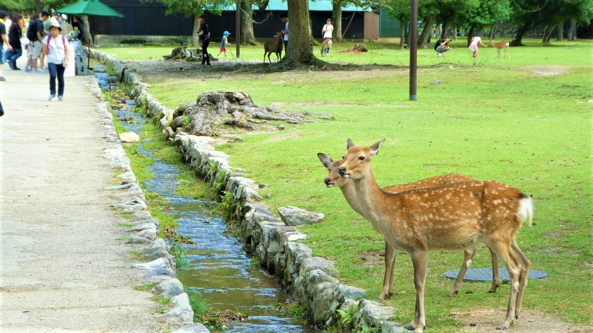 The sika deer in Nara, Japan