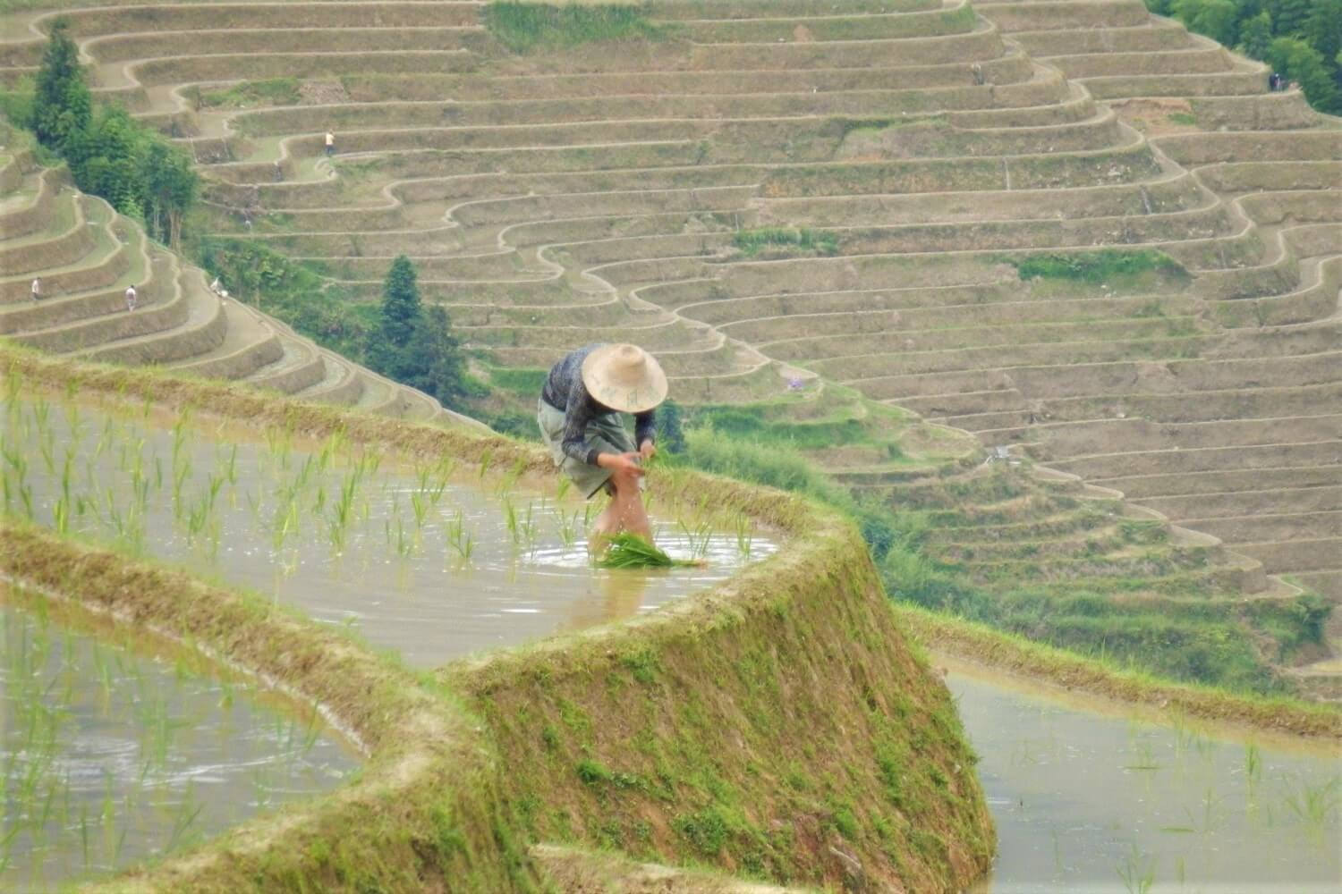 A citizen working on the rice fields in China