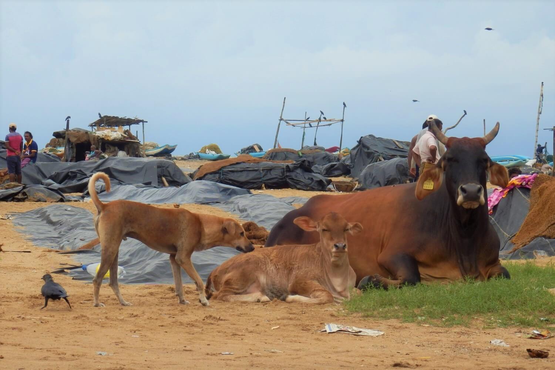 Cows on the beach in Sri Lanka