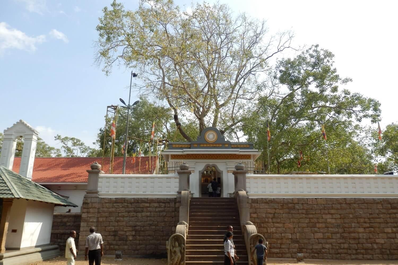 Sri Maha Bodhi Tri, the Tree of Enlightenment